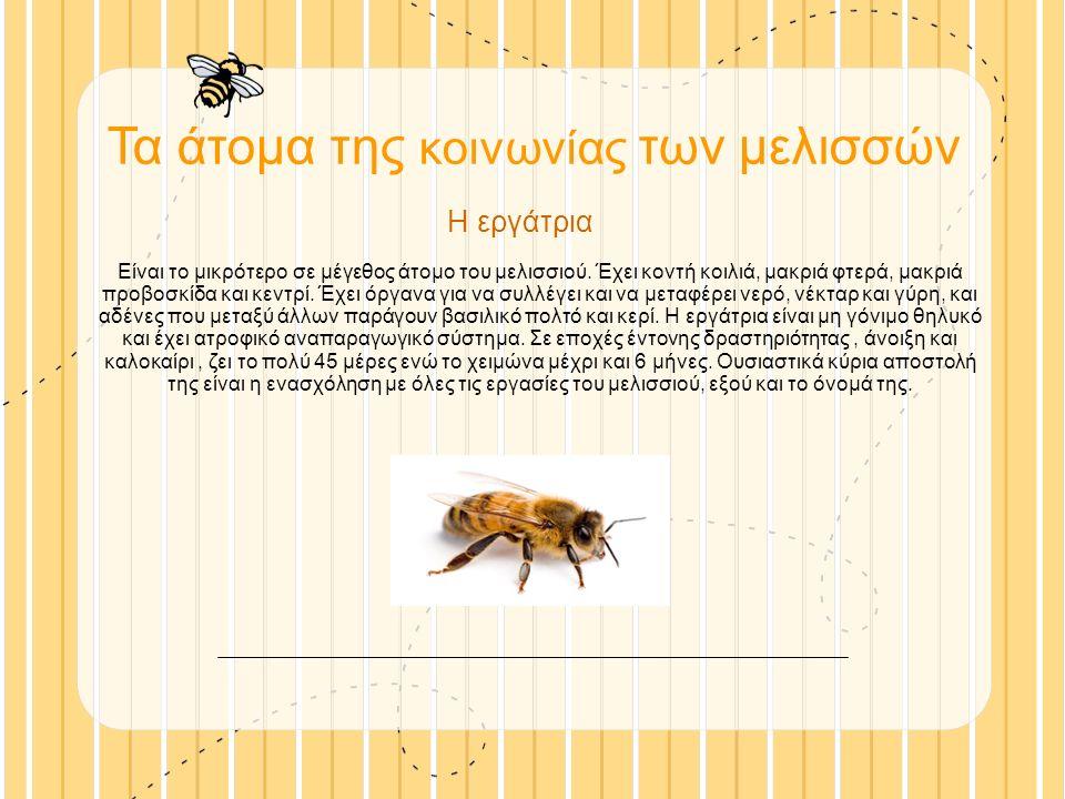 Τα άτομα της κοινωνίας των μελισσών Η εργάτρια Είναι το μικρότερο σε μέγεθος άτομο του μελισσιού.