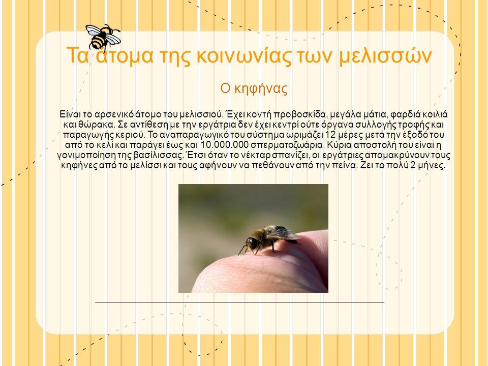 Τα άτομα της κοινωνίας των μελισσών Ο κηφήνας Είναι το αρσενικό άτομο του μελισσιού.