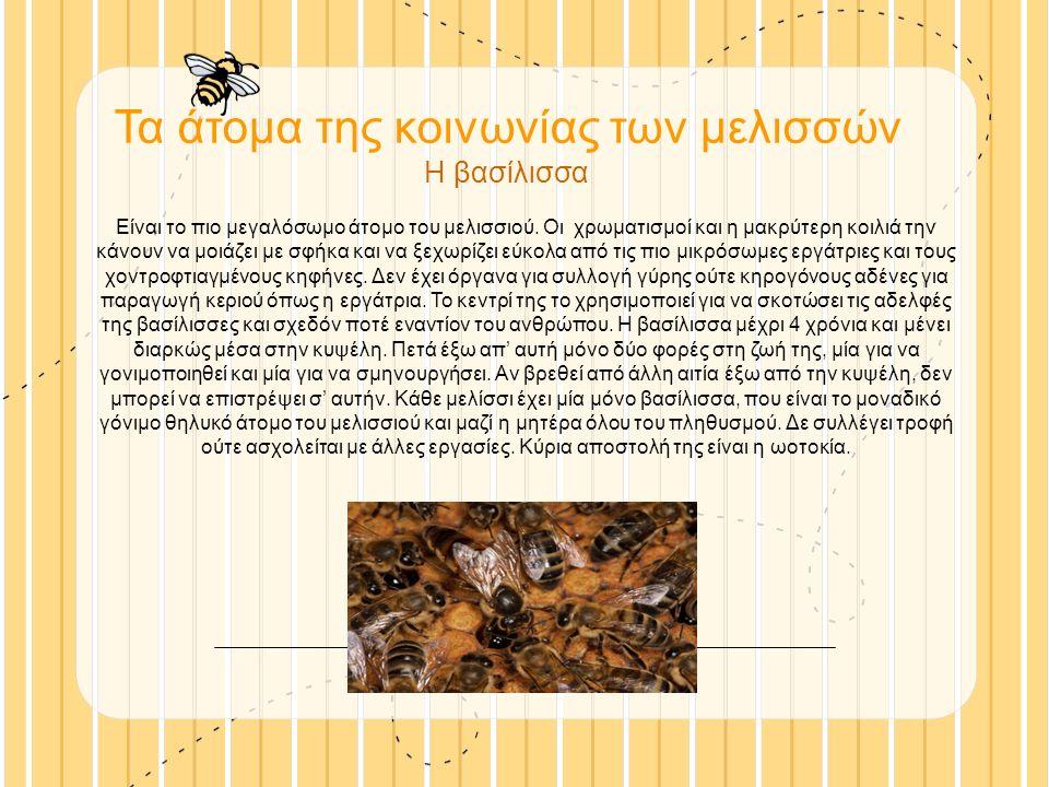 Τα άτομα της κοινωνίας των μελισσών Η βασίλισσα Είναι το πιο μεγαλόσωμο άτομο του μελισσιού.