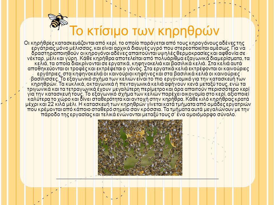 Το κτίσιμο των κηρηθρών Οι κηρήθρες κατασκευάζονται από κερί, το οποίο παράγεται από τους κηρογόνους αδένες της εργάτριας μόνο μέλισσας, και είναι αρχικά διαυγές υγρό που στερεοποιείται αμέσως.