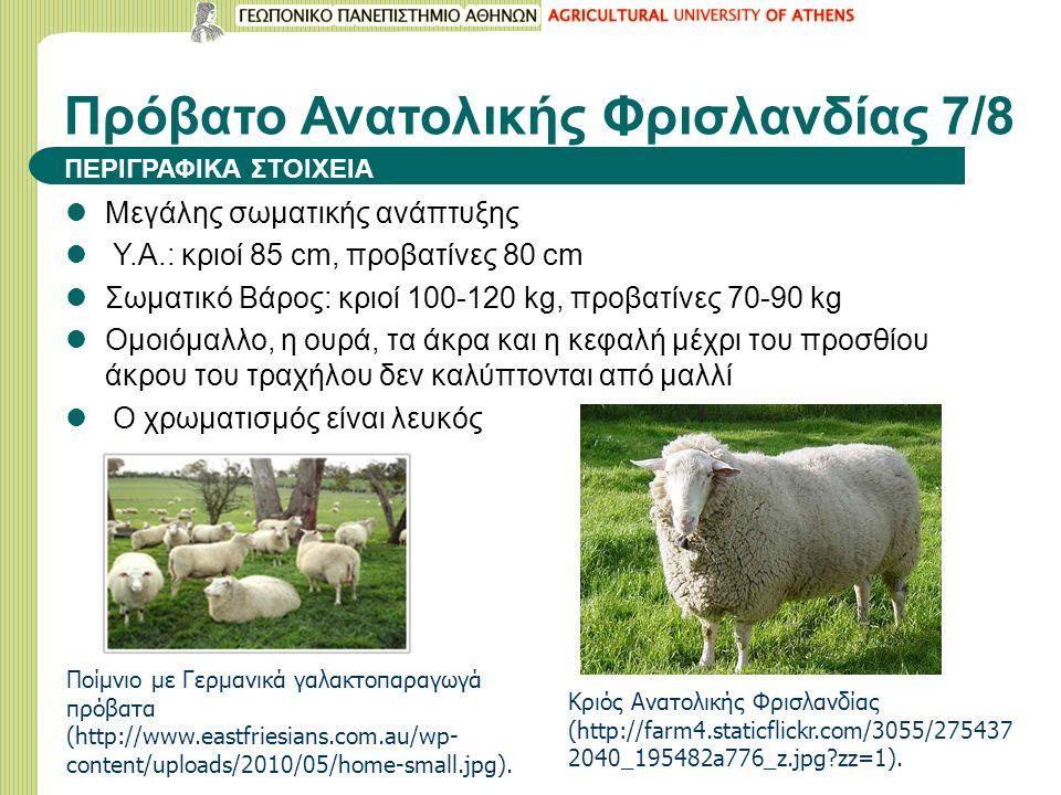Μεγάλης σωματικής ανάπτυξης Υ.Α.: κριοί 85 cm, προβατίνες 80 cm Σωματικό Βάρος: κριοί 100-120 kg, προβατίνες 70-90 kg Ομοιόμαλλο, η ουρά, τα άκρα και