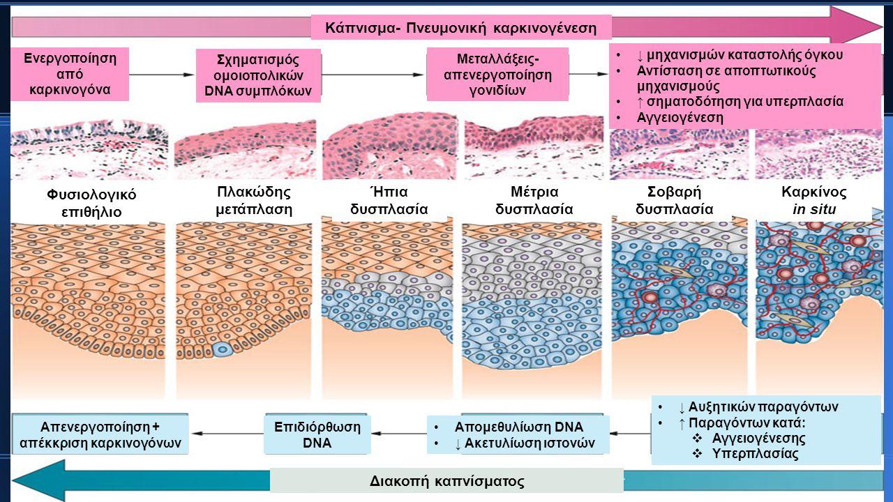 Φυσιολογικό επιθήλιο Πλακώδης μετάπλαση Ήπια δυσπλασία Μέτρια δυσπλασία Σοβαρή δυσπλασία Καρκίνος in situ Κάπνισμα- Πνευμονική καρκινογένεση Ενεργοποίηση από καρκινογόνα Σχηματισμός ομοιοπολικών DNA συμπλόκων Μεταλλάξεις- απενεργοποίηση γονιδίων Μεταλλάξεις- απενεργοποίηση γονιδίων ↓ μηχανισμών καταστολής όγκου Αντίσταση σε αποπτωτικούς μηχανισμούς ↑ σηματοδότηση για υπερπλασία Αγγειογένεση Απενεργοποίηση + απέκκριση καρκινογόνων Επιδιόρθωση DNA Απομεθυλίωση DNA ↓ Ακετυλίωση ιστονών ↓ Αυξητικών παραγόντων ↑ Παραγόντων κατά:  Αγγειογένεσης  Υπερπλασίας Διακοπή καπνίσματος