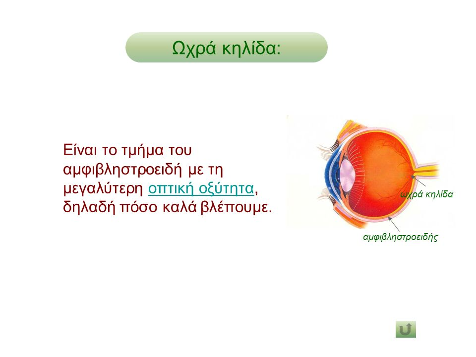 Ωχρά κηλίδα: Είναι το τμήμα του αμφιβληστροειδή με τη μεγαλύτερη οπτική οξύτητα, δηλαδή πόσο καλά βλέπουμε.οπτική οξύτητα αμφιβληστροειδής ωχρά κηλίδα