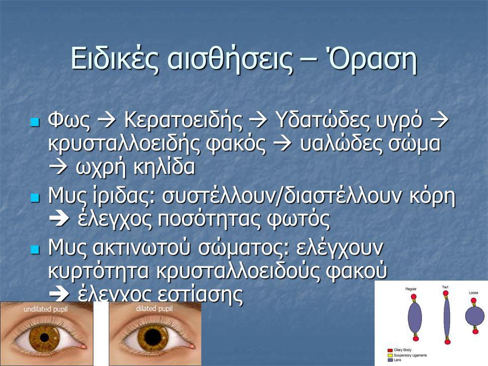 Φως  Κερατοειδής  Υδατώδες υγρό  κρυσταλλοειδής φακός  υαλώδες σώμα  ωχρή κηλίδα Φως  Κερατοειδής  Υδατώδες υγρό  κρυσταλλοειδής φακός  υαλώδες σώμα  ωχρή κηλίδα Μυς ίριδας: συστέλλουν/διαστέλλουν κόρη  έλεγχος ποσότητας φωτός Μυς ίριδας: συστέλλουν/διαστέλλουν κόρη  έλεγχος ποσότητας φωτός Μυς ακτινωτού σώματος: ελέγχουν κυρτότητα κρυσταλλοειδούς φακού  έλεγχος εστίασης Μυς ακτινωτού σώματος: ελέγχουν κυρτότητα κρυσταλλοειδούς φακού  έλεγχος εστίασης