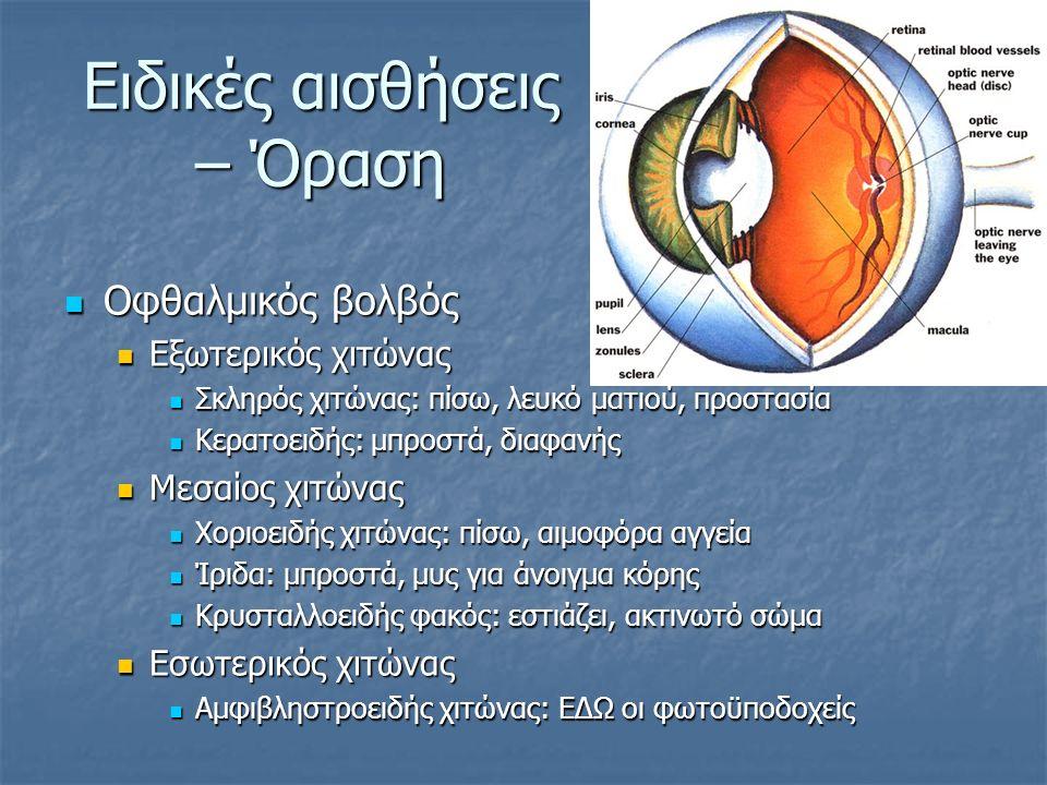 Ειδικές αισθήσεις – Όραση Οφθαλμικός βολβός Οφθαλμικός βολβός Εξωτερικός χιτώνας Εξωτερικός χιτώνας Σκληρός χιτώνας: πίσω, λευκό ματιού, προστασία Σκληρός χιτώνας: πίσω, λευκό ματιού, προστασία Κερατοειδής: μπροστά, διαφανής Κερατοειδής: μπροστά, διαφανής Μεσαίος χιτώνας Μεσαίος χιτώνας Χοριοειδής χιτώνας: πίσω, αιμοφόρα αγγεία Χοριοειδής χιτώνας: πίσω, αιμοφόρα αγγεία Ίριδα: μπροστά, μυς για άνοιγμα κόρης Ίριδα: μπροστά, μυς για άνοιγμα κόρης Κρυσταλλοειδής φακός: εστιάζει, ακτινωτό σώμα Κρυσταλλοειδής φακός: εστιάζει, ακτινωτό σώμα Εσωτερικός χιτώνας Εσωτερικός χιτώνας Αμφιβληστροειδής χιτώνας: ΕΔΩ οι φωτοϋποδοχείς Αμφιβληστροειδής χιτώνας: ΕΔΩ οι φωτοϋποδοχείς