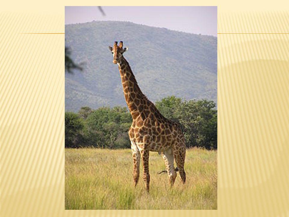  Η καμηλοπάρδαλη είναι το ψηλότερο ζώο στον κόσμο.