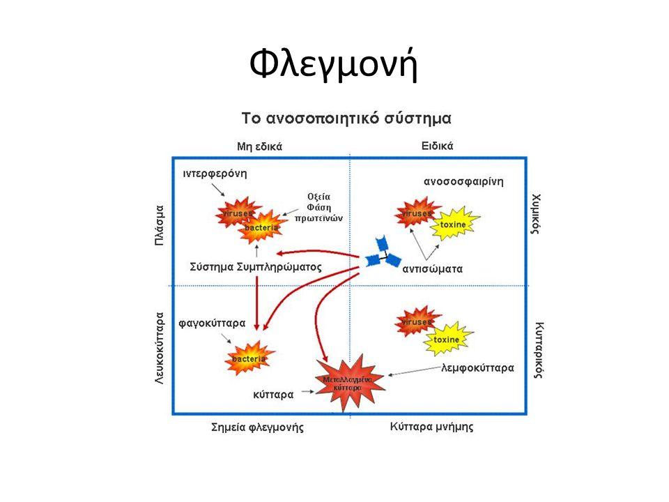 Ουδετερόφιλα Μονοκύτταρα Φαγοκύτταρα – Προσλαμβάνουν και ενσωματώνουν ξένα σώματα – Τα νεκρώνουν – Τα πέπτουν