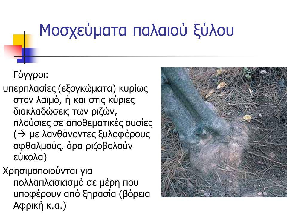 Γόγγροι: υπερπλασίες (εξογκώματα) κυρίως στον λαιμό, ή και στις κύριες διακλαδώσεις των ριζών, πλούσιες σε αποθεματικές ουσίες (  με λανθάνοντες ξυλο