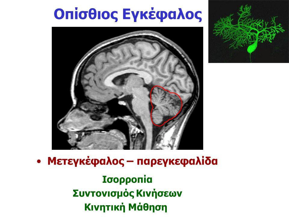 Οπίσθιος Εγκέφαλος Μετεγκέφαλος – παρεγκεφαλίδα Ισορροπία Συντονισμός Κινήσεων Κινητική Μάθηση