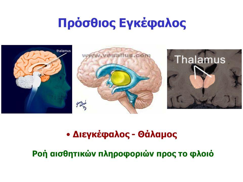 Πρόσθιος Εγκέφαλος Διεγκέφαλος - Θάλαμος Ροή αισθητικών πληροφοριών προς το φλοιό