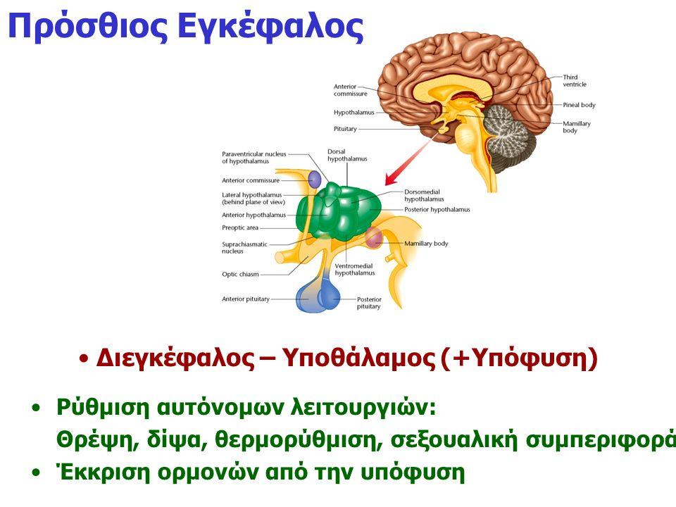 Πρόσθιος Εγκέφαλος Διεγκέφαλος – Υποθάλαμος (+Υπόφυση) Ρύθμιση αυτόνομων λειτουργιών: Θρέψη, δίψα, θερμορύθμιση, σεξουαλική συμπεριφορά Έκκριση ορμονώ