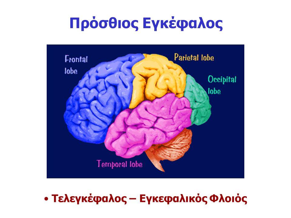 Πρόσθιος Εγκέφαλος Τελεγκέφαλος – Εγκεφαλικός Φλοιός