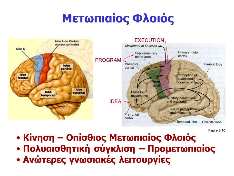 Μετωπιαίος Φλοιός Κίνηση – Οπίσθιος Μετωπιαίος Φλοιός Πολυαισθητική σύγκλιση – Προμετωπιαίος Ανώτερες γνωσιακές λειτουργίες