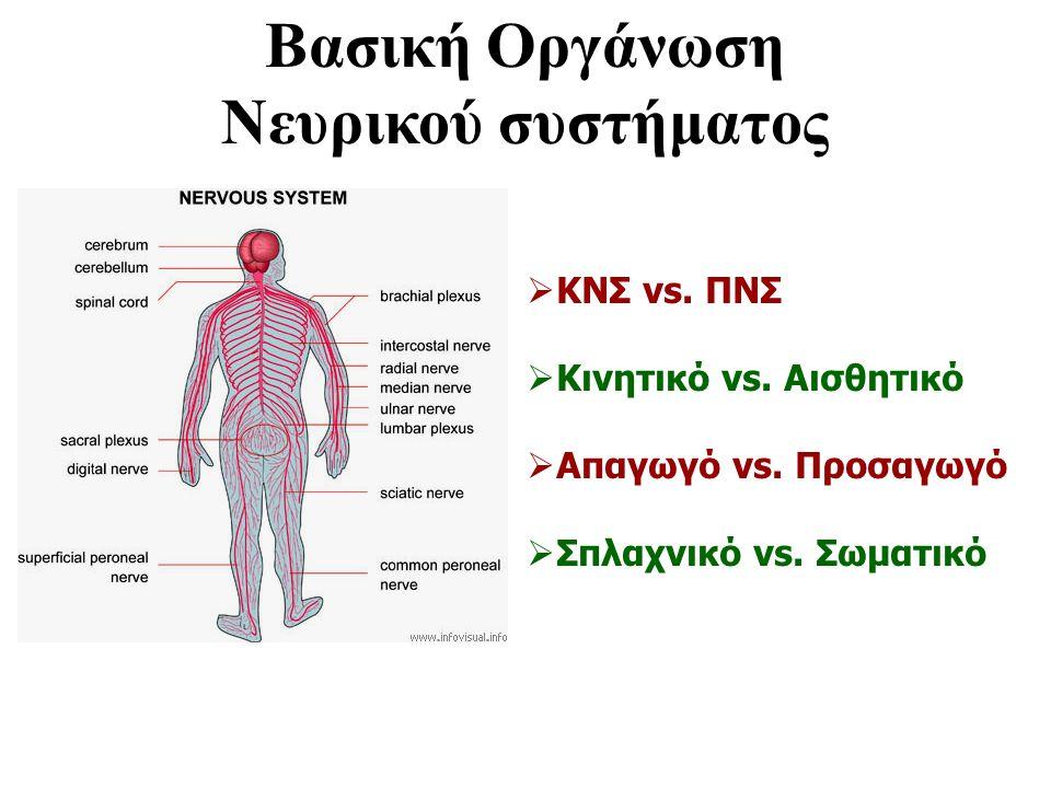 Βασική Οργάνωση Νευρικού συστήματος  ΚΝΣ vs. ΠΝΣ  Κινητικό vs. Αισθητικό  Απαγωγό vs. Προσαγωγό  Σπλαχνικό vs. Σωματικό
