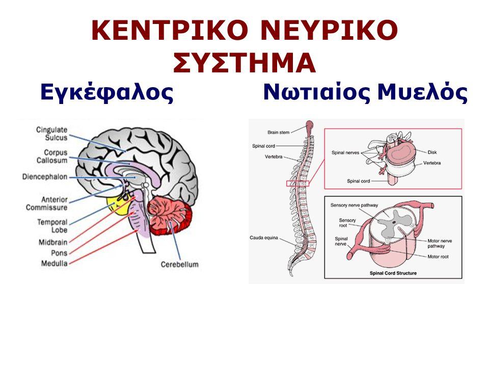 Μέσος Εγκέφαλος Μετάδοση ακουστικών και οπτικών πληροφοριών Κινήσεις ματιών και μυών προσώπου Οφθαλμοκινητικά αντανακλαστικά Έλεγχος κινήσεων – Μέλαινα Ουσία - Parkinson