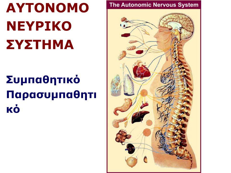 Πρόσθιος Εγκέφαλος Διεγκέφαλος – Υποθάλαμος (+Υπόφυση) Ρύθμιση αυτόνομων λειτουργιών: Θρέψη, δίψα, θερμορύθμιση, σεξουαλική συμπεριφορά Έκκριση ορμονών από την υπόφυση