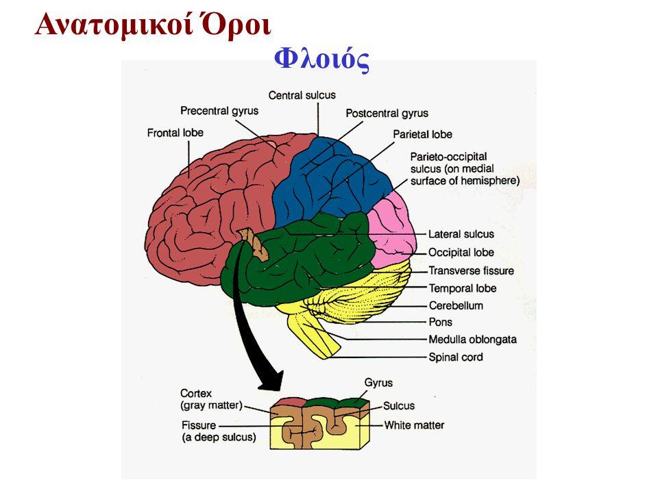 Πρόσθιος Εγκέφαλος Τελεγκέφαλος – Ιππόκαμπος και Αμυγδαλή Μνήμη Συναισθηματική Φόρτιση Εμπειριών