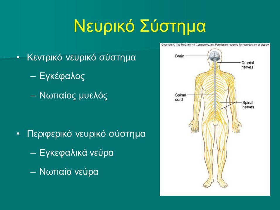 Νευρικό Σύστημα Κεντρικό νευρικό σύστημα –Εγκέφαλος –Νωτιαίος μυελός Περιφερικό νευρικό σύστημα –Εγκεφαλικά νεύρα –Νωτιαία νεύρα