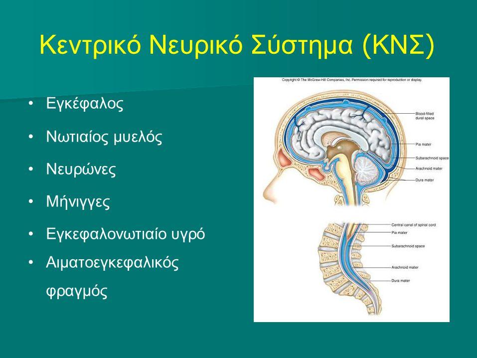 Οι μήνιγγες και το εγκεφαλονωτιαίο υγρό (ΕΝΥ) Figure 22.2 Aιματοεγκεφαλικός φραγμός : ενδοθήλιο αγγείων (κυβοειδή κ.