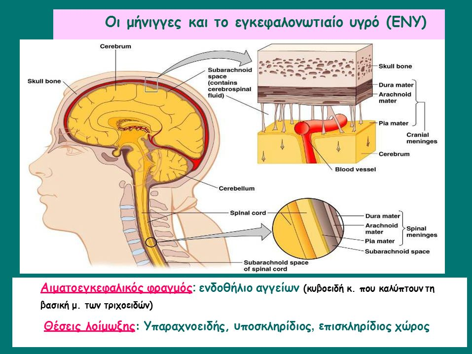 Οι μήνιγγες και το εγκεφαλονωτιαίο υγρό (ΕΝΥ) Figure 22.2 Aιματοεγκεφαλικός φραγμός : ενδοθήλιο αγγείων (κυβοειδή κ. που καλύπτουν τη βασική μ. των τρ