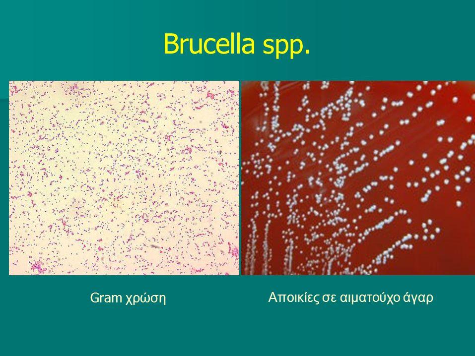 Brucella spp. Gram χρώση Αποικίες σε αιματούχο άγαρ