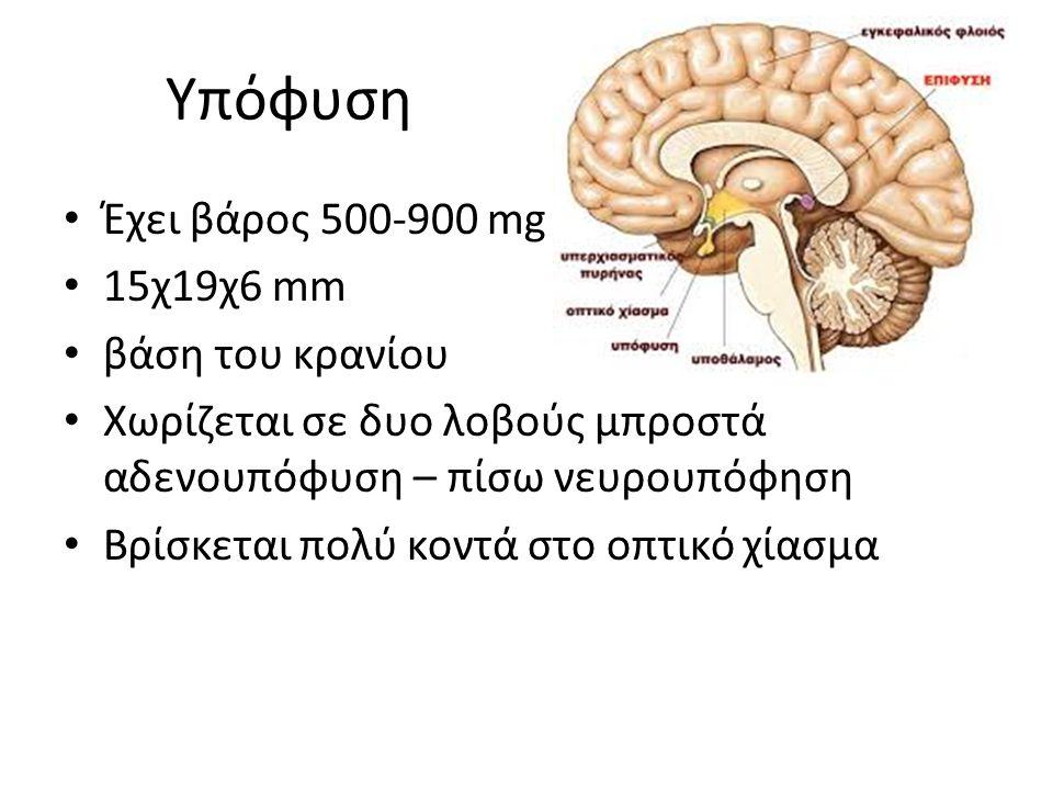 Υπόφυση Έχει βάρος 500-900 mg 15χ19χ6 mm βάση του κρανίου Χωρίζεται σε δυο λοβούς μπροστά αδενουπόφυση – πίσω νευρουπόφηση Βρίσκεται πολύ κοντά στο οπτικό χίασμα
