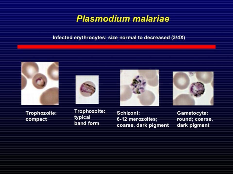 Pl. Malariae