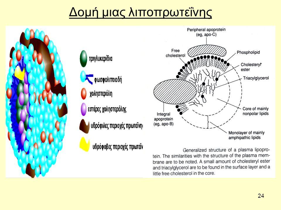 24 Δομή μιας λιποπρωτεΐνης