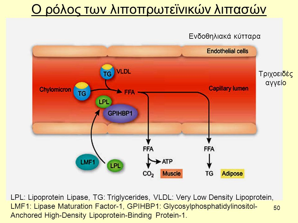 50 Ο ρόλος των λιποπρωτεϊνικών λιπασών LPL: Lipoprotein Lipase, TG: Triglycerides, VLDL: Very Low Density Lipoprotein, LMF1: Lipase Maturation Factor-1, GPIHBP1: Glycosylphosphatidylinositol- Anchored High-Density Lipoprotein-Binding Protein-1.