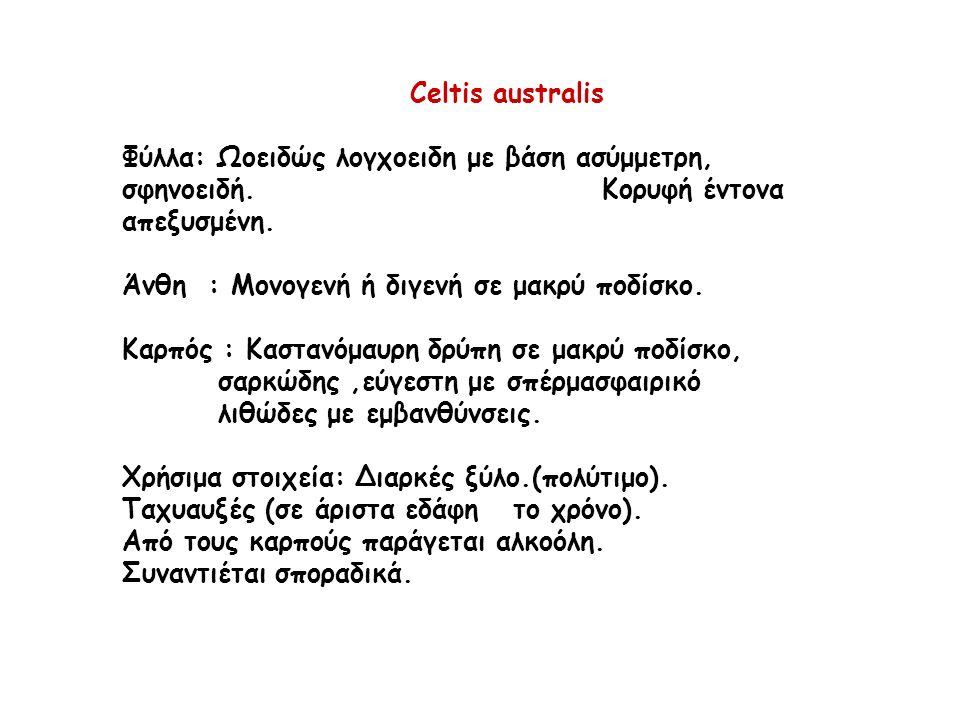 Celtis australis Φύλλα: Ωοειδώς λογχοειδη με βάση ασύμμετρη, σφηνοειδή.
