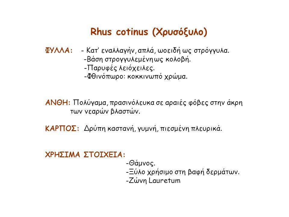Rhus cotinus (Χρυσόξυλο) ΦΥΛΛΑ: - Κατ' εναλλαγήν, απλά, ωοειδή ως στρόγγυλα.