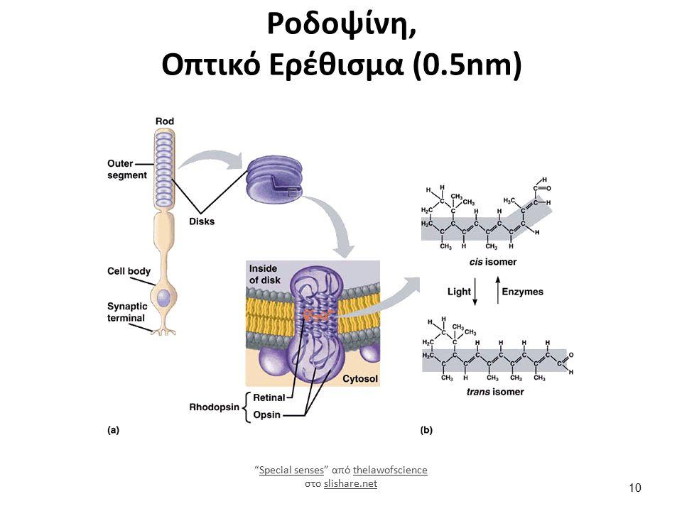 Ροδοψίνη, Οπτικό Ερέθισμα (0.5nm) Special senses από thelawofscience στο slishare.netSpecial sensesthelawofscienceslishare.net 10