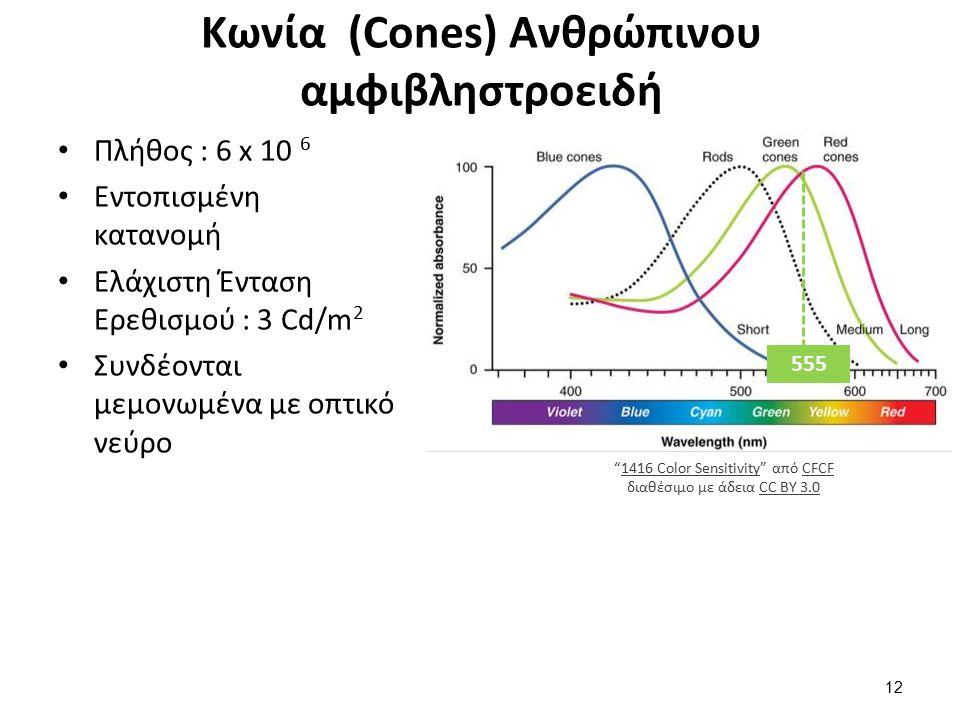 Κωνία (Cones) Ανθρώπινου αμφιβληστροειδή Πλήθος : 6 x 10 6 Εντοπισμένη κατανομή Ελάχιστη Ένταση Ερεθισμού : 3 Cd/m 2 Συνδέονται μεμονωμένα με οπτικό νεύρο 555 1416 Color Sensitivity από CFCF διαθέσιμο με άδεια CC BY 3.01416 Color SensitivityCFCFCC BY 3.0 12