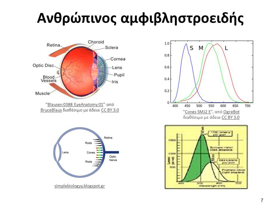 Ανθρώπινος αμφιβληστροειδής Blausen 0388 EyeAnatomy 01 από BruceBlaus διαθέσιμο με άδεια CC BY 3.0Blausen 0388 EyeAnatomy 01 BruceBlausCC BY 3.0 simplebiologyy.blogspot.gr Cones SMJ2 E , από OgreBot διαθέσιμο με άδεια CC BY 3.0Cones SMJ2 EOgreBotCC BY 3.0 7