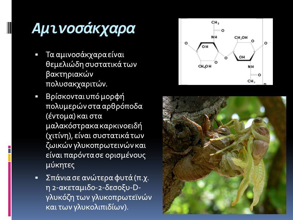 Αμινοσάκχαρα  Τα αμινοσάκχαρα είναι θεμελιώδη συστατικά των βακτηριακών πολυσακχαριτών.  Βρίσκονται υπό μορφή πολυμερών στα αρθρόποδα (έντομα) και σ