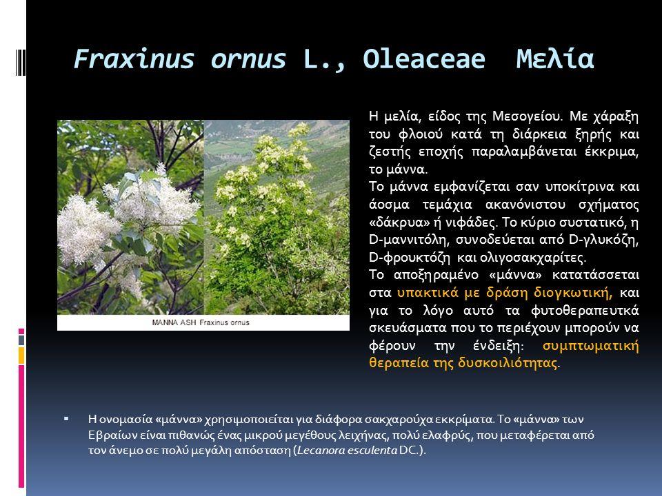 Fraxinus ornus L., Oleaceae Μελία  Η ονομασία «μάννα» χρησιμοποιείται για διάφορα σακχαρούχα εκκρίματα. Το «μάννα» των Εβραίων είναι πιθανώς ένας μικ