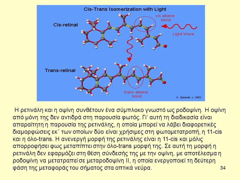 34 Η ρετινάλη και η οψίνη συνθέτουν ένα σύμπλοκο γνωστό ως ροδοψίνη.