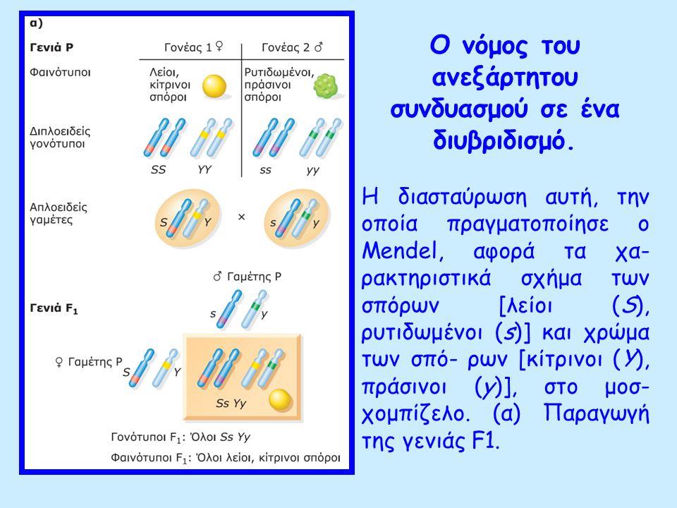 Ο δεύτερος νόμος του Mendel 2ος νόμος του Mendel ή νόμος της ανεξάρτητης μεταβίβασης των γονιδίων: Τα ετερόζυγα άτομα της F1 γενιάς ως προς δύο ιδιότητες διαχωρίζουν κατά τη διάρκεια της μείωσης τα αλληλόμορφα της μιας ιδιότητας ανεξάρτητα από τα αλληλόμορφα της άλλης ιδιότητας έτσι κάθε άτομο παράγει γαμέτες με όλους τους δυνατούς συνδυασμούς των γονιδίων του.