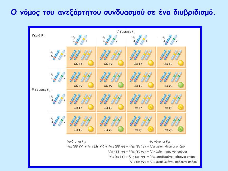 Ο νόμος του ανεξάρτητου συνδυασμού σε ένα διυβριδισμό. (β) Οι γονότυποι της F2 και η φαινοτυπική αναλογία 9:3:3:1 μεταξύ λείων, κίτρινων σπόρων : λείω