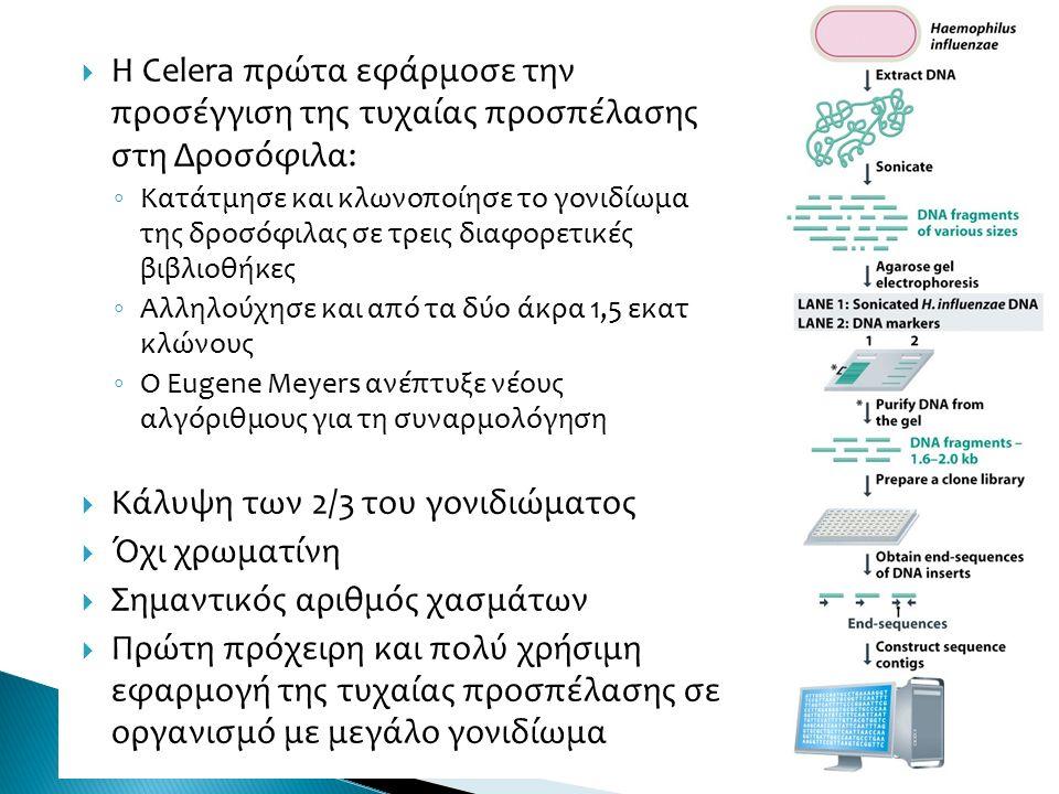  H Celera πρώτα εφάρμοσε την προσέγγιση της τυχαίας προσπέλασης στη Δροσόφιλα: ◦ Κατάτμησε και κλωνοποίησε το γονιδίωμα της δροσόφιλας σε τρεις διαφορετικές βιβλιοθήκες ◦ Αλληλούχησε και από τα δύο άκρα 1,5 εκατ κλώνους ◦ Ο Eugene Meyers ανέπτυξε νέους αλγόριθμους για τη συναρμολόγηση  Κάλυψη των 2/3 του γονιδιώματος  Όχι χρωματίνη  Σημαντικός αριθμός χασμάτων  Πρώτη πρόχειρη και πολύ χρήσιμη εφαρμογή της τυχαίας προσπέλασης σε οργανισμό με μεγάλο γονιδίωμα 10