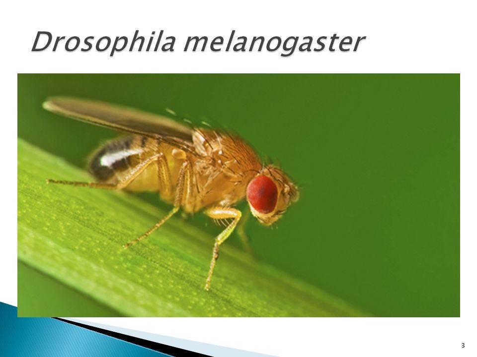  Το μέγεθος του γονιδιώματος: 180 Mb  Τα 2/3 είναι ευχρωματίνη  Αυτές οι 120 Mb ήταν το πρώτο μεγάλο γονιδίωμα που αλληλουχήθηκε ◦ Celera Genomics (Venter) ◦ Drosophila Genome Projects (Berkeley, CA and Europe)  Η ετεροχρωματίνη περιέχει πολλές αλλεπάλληλες επαναλήψεις της αλληλουχίας AATAACATAG και σχετικά λίγα γονίδια