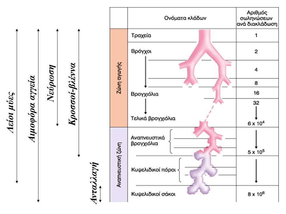 Λείοι μύες Κροσσοί-βλέννα Αιμοφόρα αγγεία Ανταλλαγή Νεύρωση
