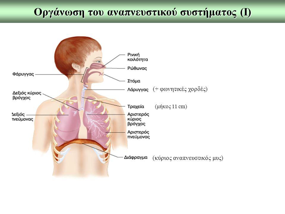 Οργάνωση του αναπνευστικού συστήματος (Ι) (+ φωνητικές χορδές) (μήκος 11 cm) (κύριος αναπνευστικός μυς)