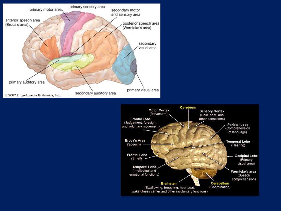 True fisp ακολουθία Λιθοειδή-κρανιακά νεύρα Τρίδυμο ν. 7 η -8 η συζυγία