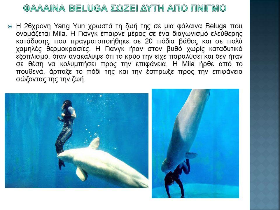  Η 26χρονη Yang Yun χρωστά τη ζωή της σε μια φάλαινα Beluga που ονομάζεται Mila. Η Γιανγκ έπαιρνε μέρος σε ένα διαγωνισμό ελεύθερης κατάδυσης που πρα