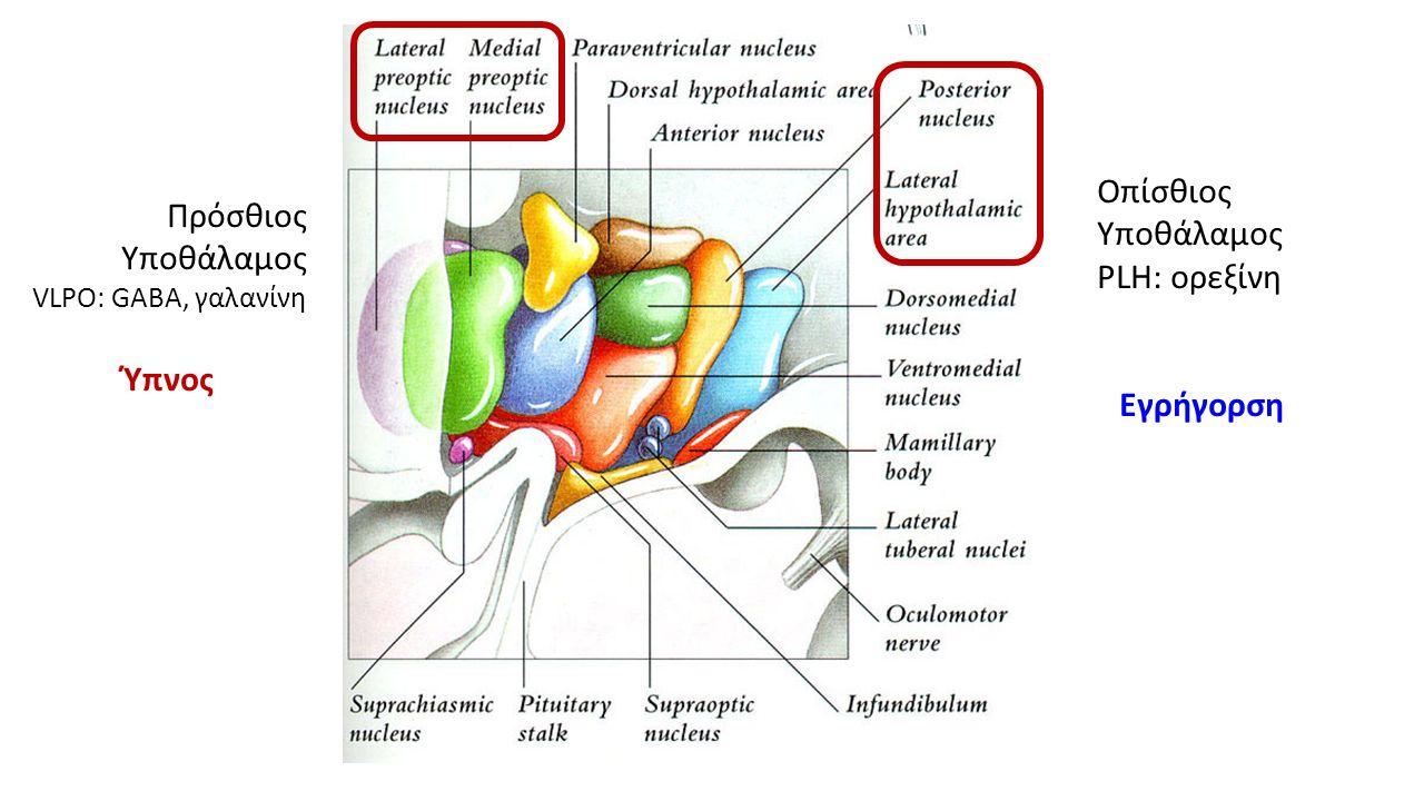 Πρόσθιος Υποθάλαμος VLPO: GABA, γαλανίνη Ύπνος Οπίσθιος Υποθάλαμος PLH: ορεξίνη Εγρήγορση