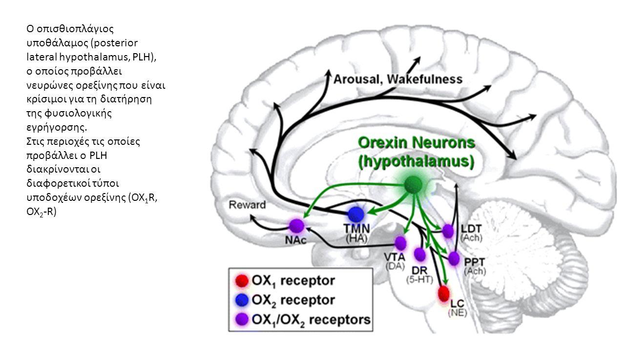 Ο οπισθιοπλάγιος υποθάλαμος (posterior lateral hypothalamus, PLH), ο οποίος προβάλλει νευρώνες ορεξίνης που είναι κρίσιμοι για τη διατήρηση της φυσιολογικής εγρήγορσης.