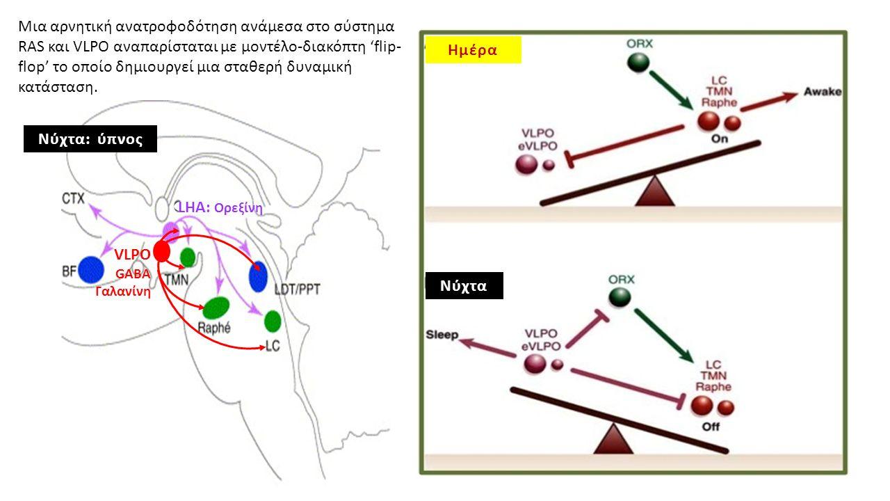 Μια αρνητική ανατροφοδότηση ανάμεσα στο σύστημα RAS και VLPO αναπαρίσταται με μοντέλο-διακόπτη 'flip- flop' το οποίο δημιουργεί μια σταθερή δυναμική κατάσταση.