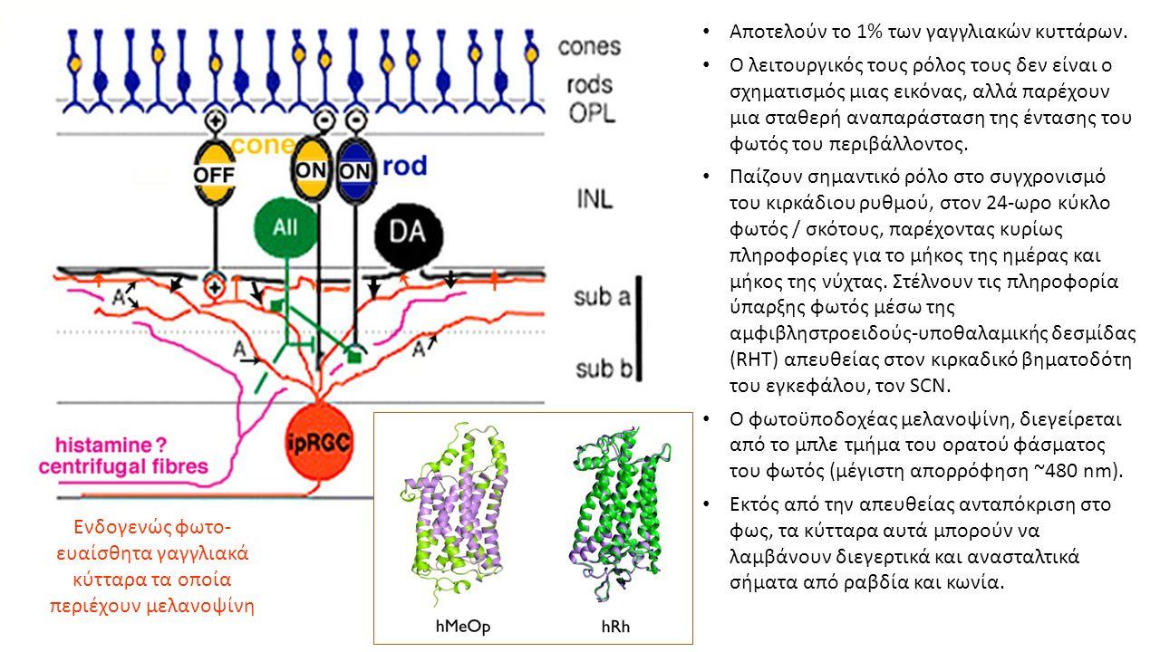 Ενδογενώς φωτο- ευαίσθητα γαγγλιακά κύτταρα τα οποία περιέχουν μελανοψίνη Αποτελούν το 1% των γαγγλιακών κυττάρων.