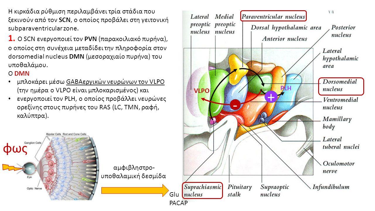 Η κιρκάδια ρύθμιση περιλαμβάνει τρία στάδια που ξεκινούν από τον SCN, ο οποίος προβάλει στη γειτονική subparaventricular zone.